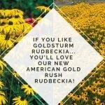 Goldsturm Rubeckia